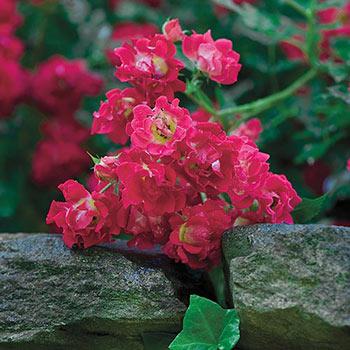 Red Drift Groundcover Rose