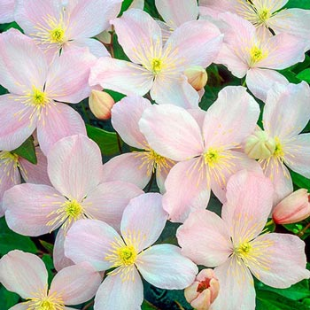 Pink Vanilla Clematis