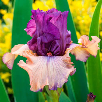 Finishing School German Iris