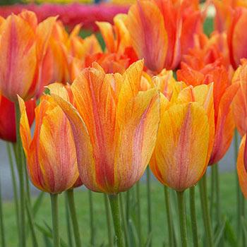 El Niño Tulip