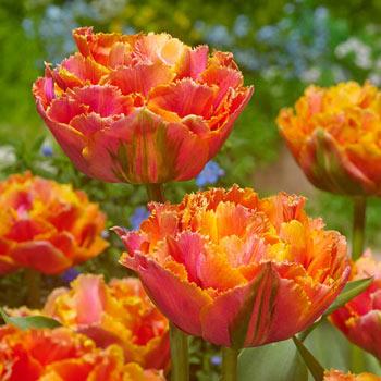 Centennial Tulip
