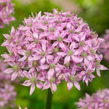 Pink Jewel Allium
