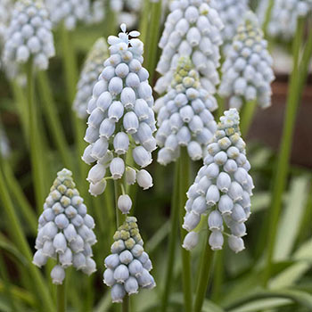Valerie Finnis Grape Hyacinth