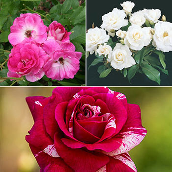 Lover's Delight Floribunda Rose Collection