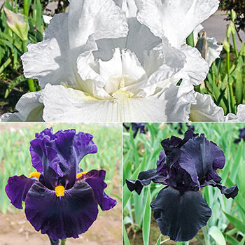 Ebony and Ivory Iris Collection