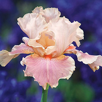 Entitled German Iris