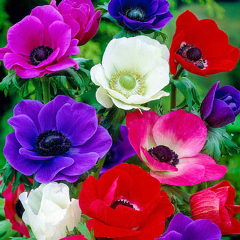 Anemones Mix Super Bag