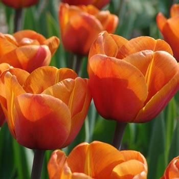 Brown Sugar Tulip