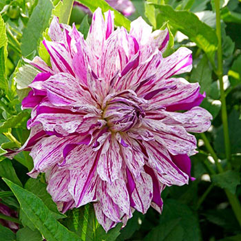 Mom's Special Dinnerplate Dahlia