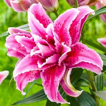 Double Star Gazer Lily