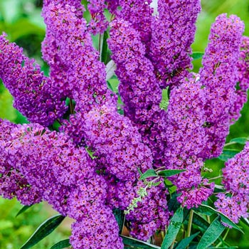 Blue Buddleia