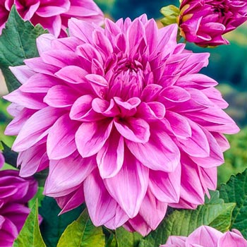 Lilac Time Giant Dinner Plate Dahlia