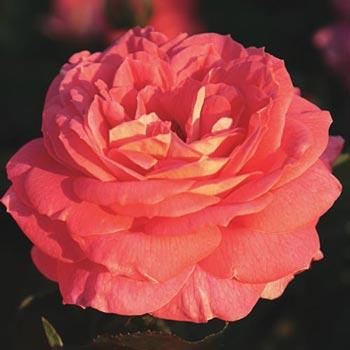 Summer Sun™ Shrub Rose