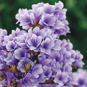 Purple Gem Hardy Azalea