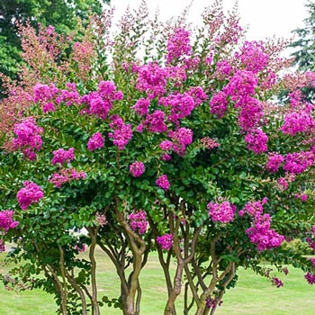 Flowering shrubs and trees catawba hardy crape myrtle for Hardy flowering trees