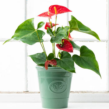 Dutch Red Anthurium