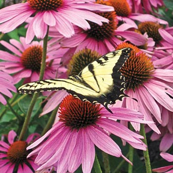 Bravado Echinacea