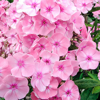 Fairest One Tall Phlox
