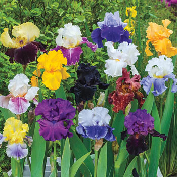 Reblooming German Iris Mix