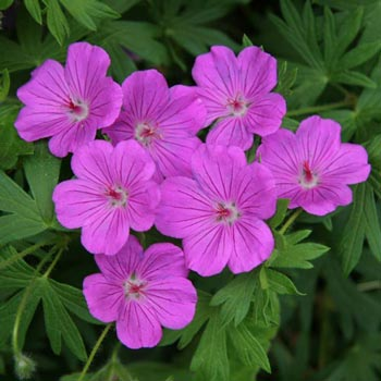 Tiny Monster Hardy Geranium