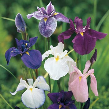 Japanese Iris Mix