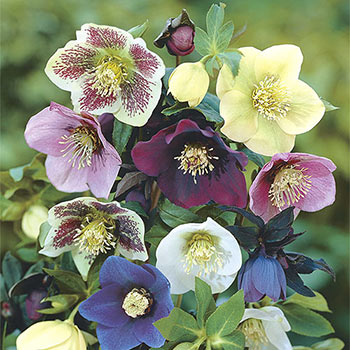 Deluxe Single Helleborus Mix