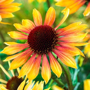 Evening Glow Coneflower
