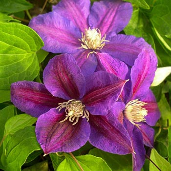 Beth Currie Clematis