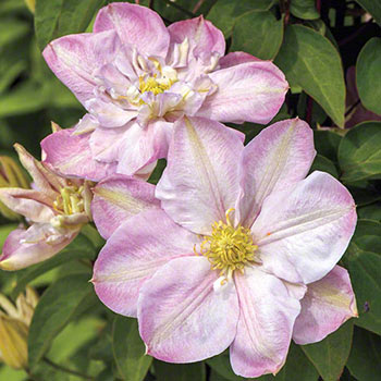 Innocent Blush Clematis