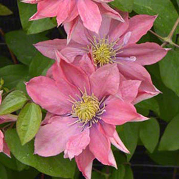 Little Mermaid Clematis