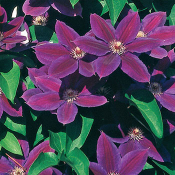 Wildfire Clematis