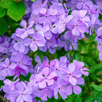Blue Moon Phlox