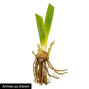 Champagne Elegance Reblooming Bearded Iris