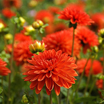 Jewel Orange Dahlia