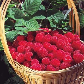 Latham Raspberry