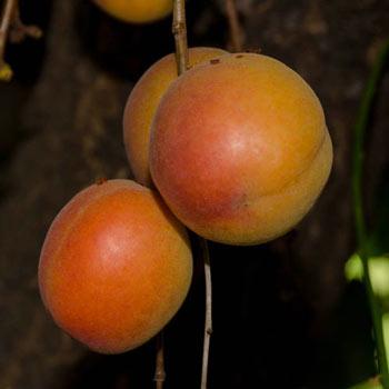 Katy Apricot