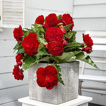 Nonstop® Red Begonia