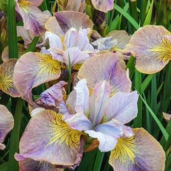 Unbuttoned Zippers Siberian Iris