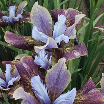 Black Joker Siberian Iris