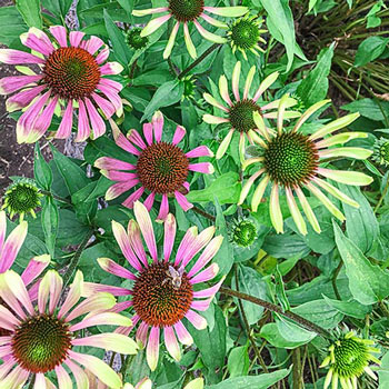 Green Envy Coneflower