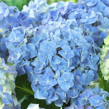 Forever & Ever<sup>&trade;</sup> Blue Heaven Hydrangea