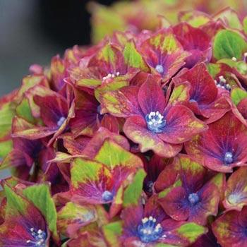 Forever & Ever<sup>&reg;</sup> Pistachio Hydrangea