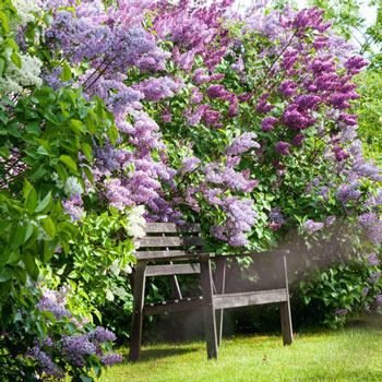 Old-Fashioned Lilac Jumbo Hedge