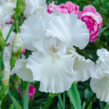Immortality Reblooming German Iris