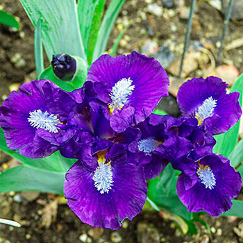 Trajectory Miniature Bearded Iris