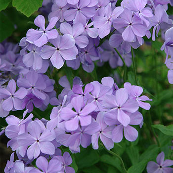 Fabulous Garden Phlox Collection