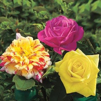 3-In-1 Miniature Rose