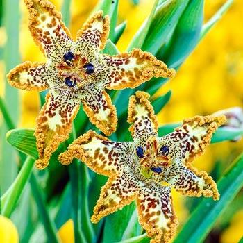 Starfish Iris