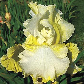 Summer Waltz Reblooming Bearded Iris