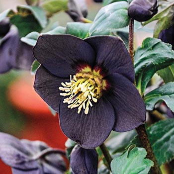 New York Night Hellebore